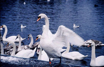 picture of swans in the marine park